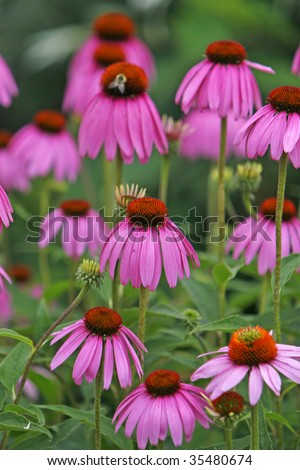 Group of Purple Cone flowers