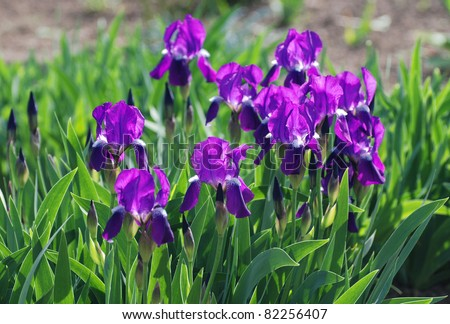 Group of purple irises in spring sunny day. Selective focus.