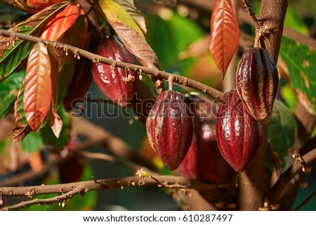 Group of red cocoa pods hanging on tree branch