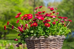 Group of red daisies flourishing in wicker basket