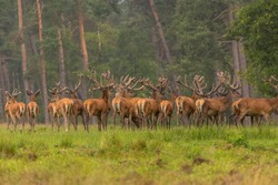 Group of red deers stading on a grass field. Red deers at the Hoge Veluwe