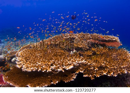 Group of red fish swimming over a coral reef underwater with blue ocean background