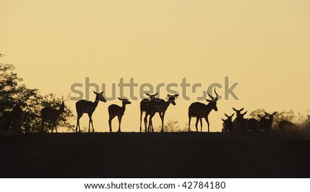 Group of red impala (Aepyceros melampus) standing on the road in the nature reserve at sunset in South Africa