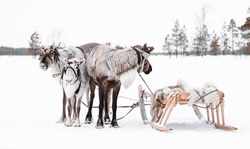 Group of reindeer with wooden sleds in the snow in Siberian taiga. Holiday Day of the reindeer northern peoples Khanty and Mansi