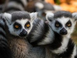 Group of ring-tailed lemur monkeys