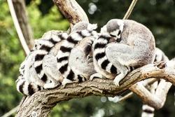 Group of Ring-tailed lemurs (Lemur catta) resting on the tree branch. Humorous animal theme.