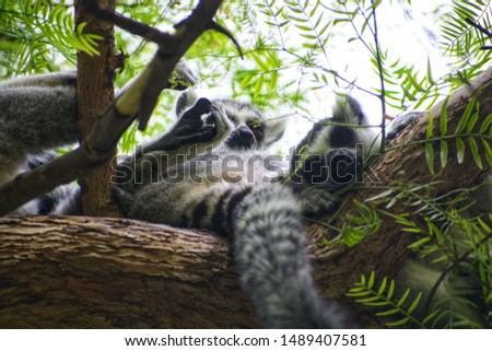 Group of ring-tailed lemurs (Lemur catta) sleeping over a tree.