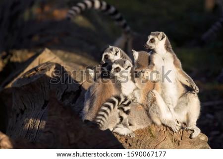 group of ring-tailed lemurs or Lemur catta