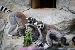 group of ring-tailed lemurs select the best and tastiest stalks of grass to eat. Lemur catta - lunch time. the most recognized lemur. Species Primates. Funny monkeys.