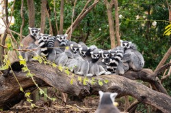 Group of ring-tailed lemurs sitting and hugging on the trunk of a tree with another lemur in the foreground that seems to be taking a group photo of them