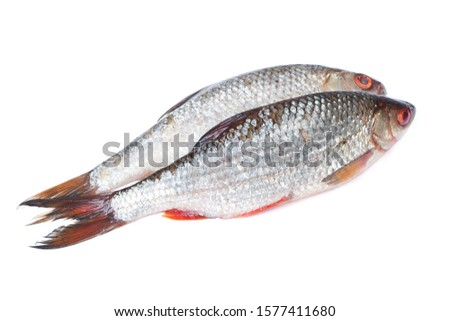 Group of roaches river fishes isolated on white background