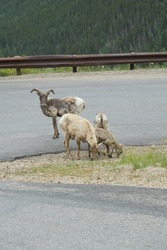 Group of Rocky Mountain Big Horn sheep on Guanella Pass switchback