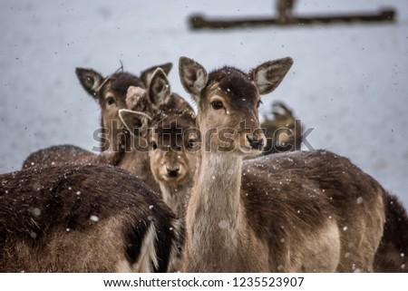 Group of Roe Deer