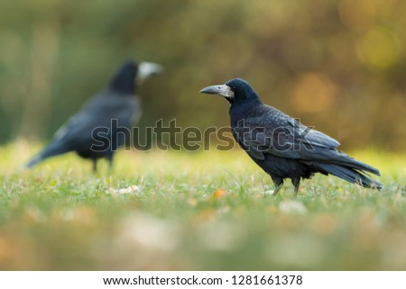 Group of Rooks Corvus frugilegus, Pardubice Czech Republic