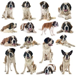 group of saint bernard in front of white background