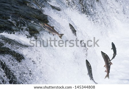 Group of Salmon jumping upstream in river - stock photo