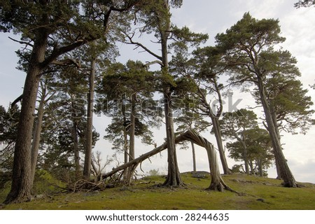 Group of Scots pines on hilltop near Aviemore, Scotland