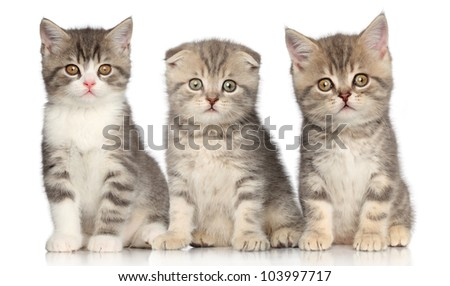 Group of Scottish kitten posing on a white background