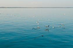 Group of seagulls floats on a clean smooth surface of the sea.