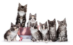 Group of seven Maine Coon cat kittens in different colors and patterns, sitting in and beside a pink plastic doll bath. All looking towards camera. Isolated on white background.