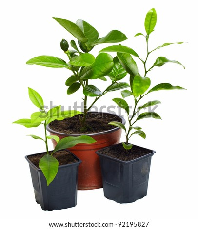 group of several young potted citrus plants isolated on white