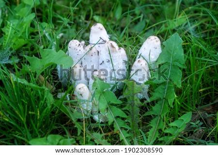Group of shaggy ink cap mushrooms in the grass Coprinus comatus, Shaggy Mane, Shaggy Inkcap, Lawyer's Wig, Coprin chevelu, Schopftintling, Agarico chiomato, Geschubde inktzwam, Gyapjas tintagomba. Stock photo ©