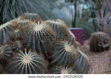 Group of sharp prickly green Hedgehog Cacti cactus plants, also known as echinopsis, sea-urchin cactus or Easter lily cactus #1452528320