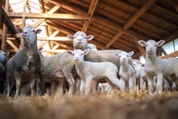 Group of sheep and lamb domestic animals in wooden barn at the farm. Sheep family.