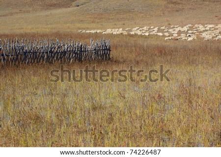 Group of sheep in Bashang grassland, Hebei, China
