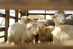 Group of sheep in farm