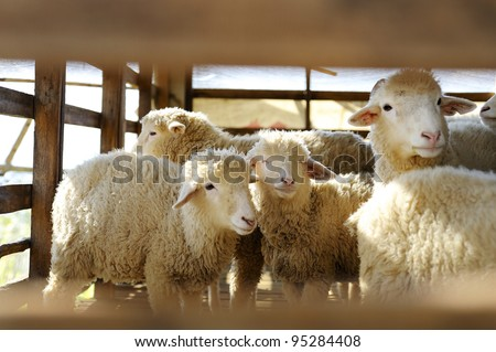 Group of sheep in farm - stock photo