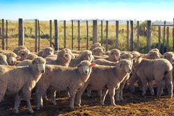 group of Sheep looking straight ahead. Sheep cattle in the corrals of a field in Buenos Aires