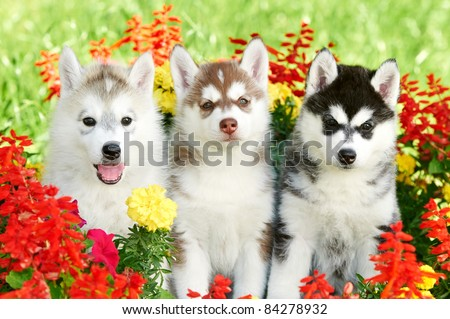 Sibirski haski - Page 4 Stock-photo-group-of-siberian-husky-puppy-dogs-one-month-old-on-green-grass-84278932