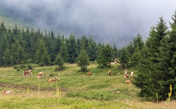 Group of simmental cows grazing on meadow in front of evergreen forest on Balkan mountains in Serbia on cold summer day. Traditional and healthy natural cattle breeding