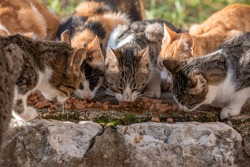 Group of six homeless cats feeding outside on the street, two ginger cats, two stripped gray and white, one black and ginger spotted in the middle, blurred grass on the backround
