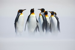 Group of six King penguins, Aptenodytes patagonicus, going from white snow to sea in Falkland Islands. Cold winter scene from Antarctica.