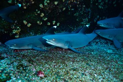 Group of small baby white tips sharks keep together on the sea floor