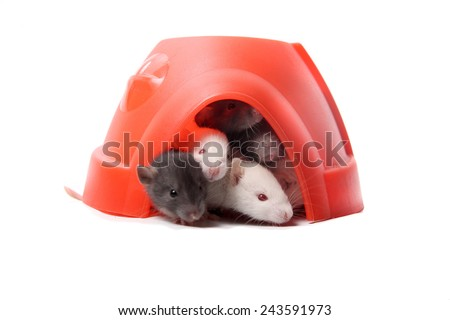 Group of small, cute, baby domesticated pet rats  climbing over eachother in a plastic dome house on a white background