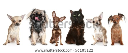 Group of small dogs and one cat, isolated on a white background
