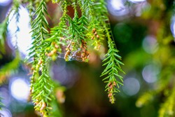 Group of small pine cones with spider web and water drop hanging on pine leaves in coniferous forest, Taiwan