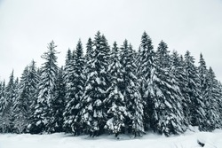 Group of Snow Covered Fir Trees