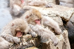 Group of Snow monkeys sleeping in a hot spring. Jigokudani Monkey Park in Japan, Nagano Prefecture. Cute Japanese macaques sitting in onsen