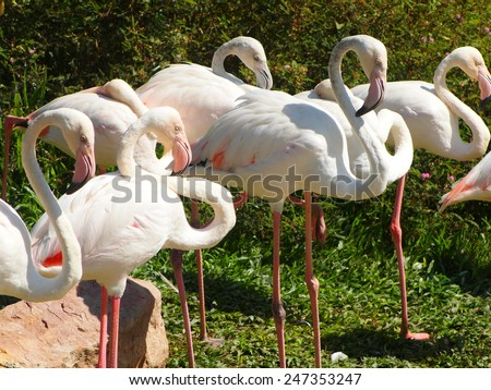 group of soft pink color africans bird flamingos standing on green grass floor near a pond on a warm weather day in summer in a zoo in THAILAND