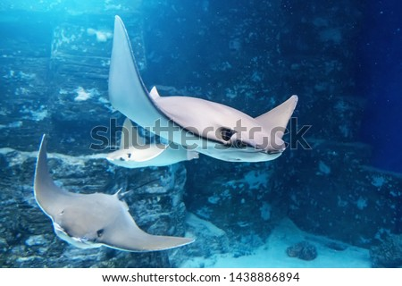 Group of stingrays are swimming on the blue sea near the underwater rocks