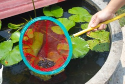 Group of tadpoles on red fishing net. Catching baby frog/tadpoles by human with red net. Group of tadpoles was caught in red net. Man's hand holding fishing net with many tadpoles inside.