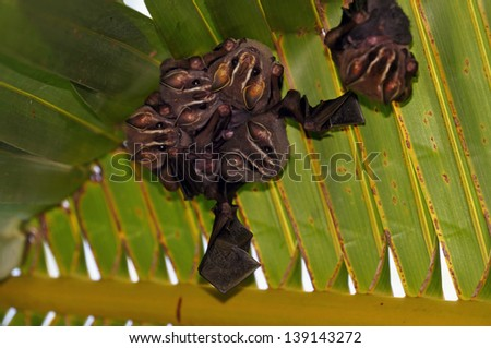 Group of Tent-Making Bats under a palm leaf, Costa Rica