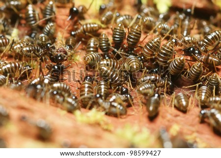 group of termite soldier