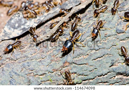 Group of termite wood eater in tropical rain forest.