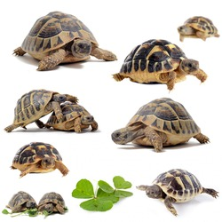 group of  Testudo hermanni tortoises on a white isolated background