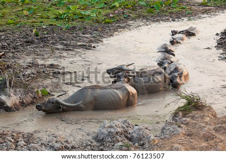 group of thai buffalo in the marsh